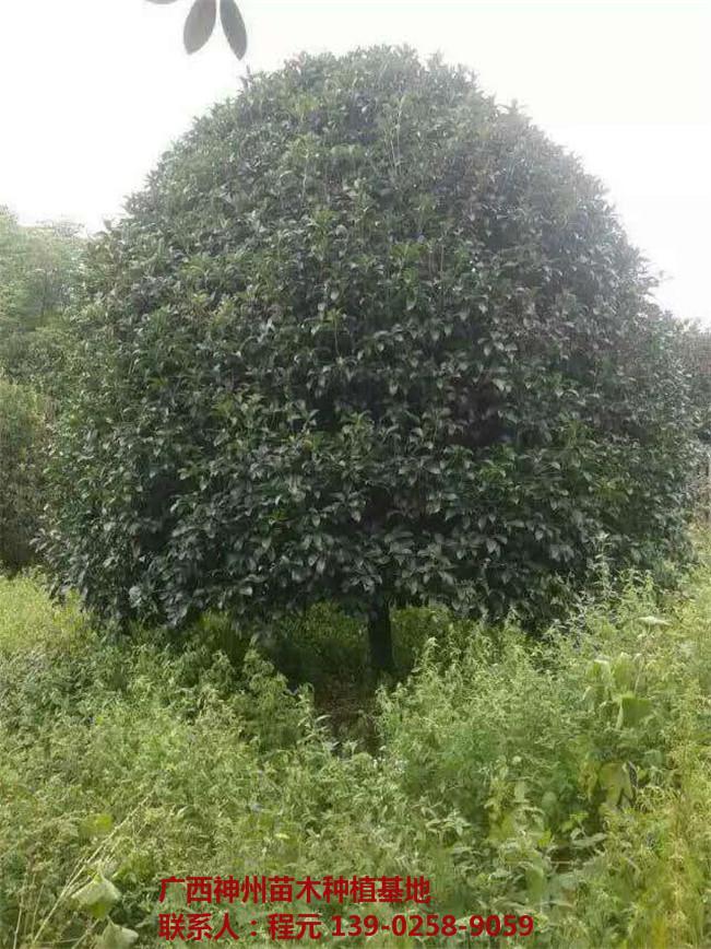 长沙桂花树批发价格 长沙桂花树供应基地