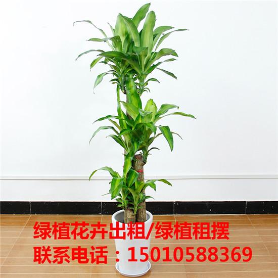 北京花木绿植盆栽出租供应商 北京花木绿植盆栽出租公司