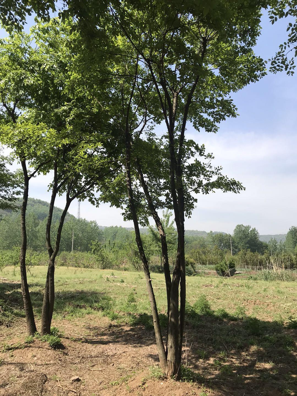 丛生朴树基地